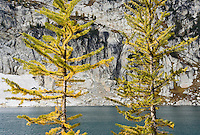 Larch trees changing colors near Inspiration Lake, Enchantment Lakes Wilderness Area, Washington Cascades, USA.