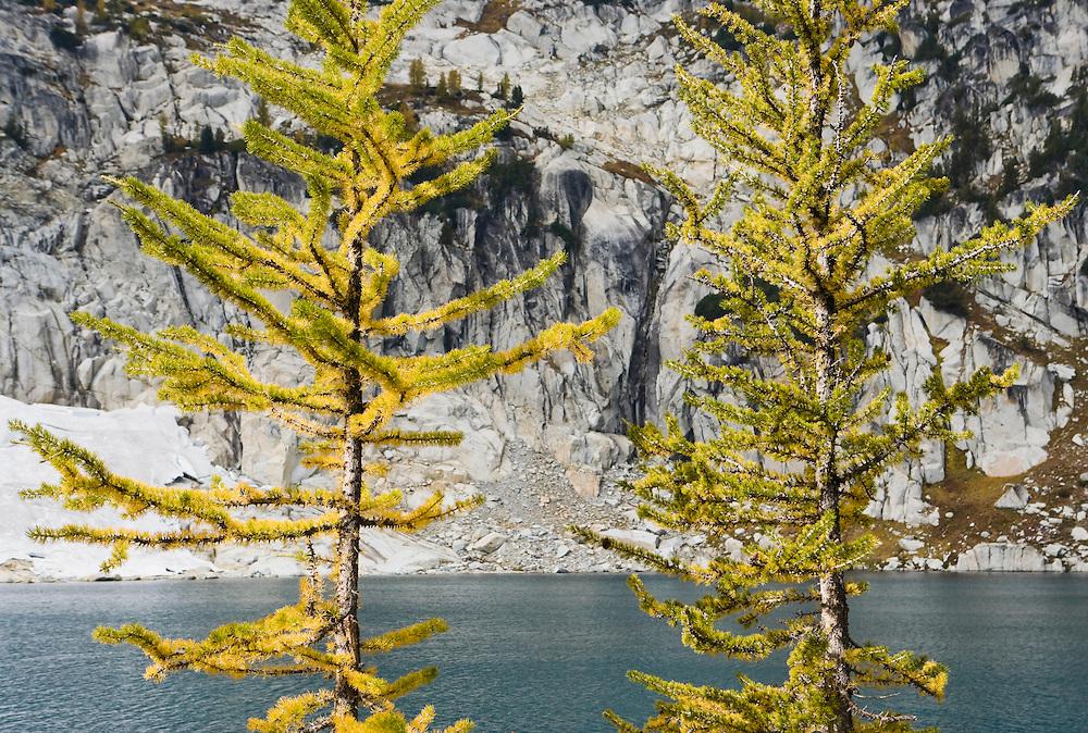 Larch trees changing colors near Inspiration Lake, Enchantment Lakes Wilderness Area, Washington Cascades, USA.