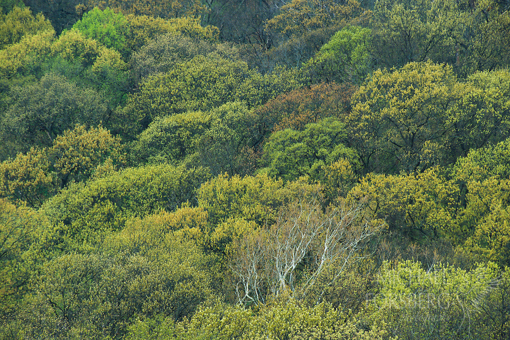 Green leaves of a summer-time deciduous woodland.  Rulo Bluffs Preserve, Nebraska.