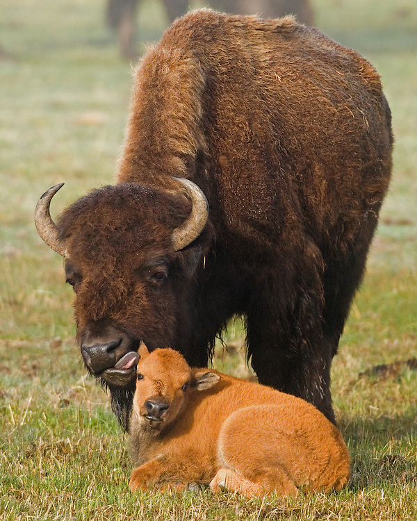 This bison cow tenderly licks her young calf near the western section of the Mary Mountain Trail in Yellowstone Park. During mid-spring, large herds of bison travel the twenty miles of this trail to reach their summer home in the Hayden Valley.