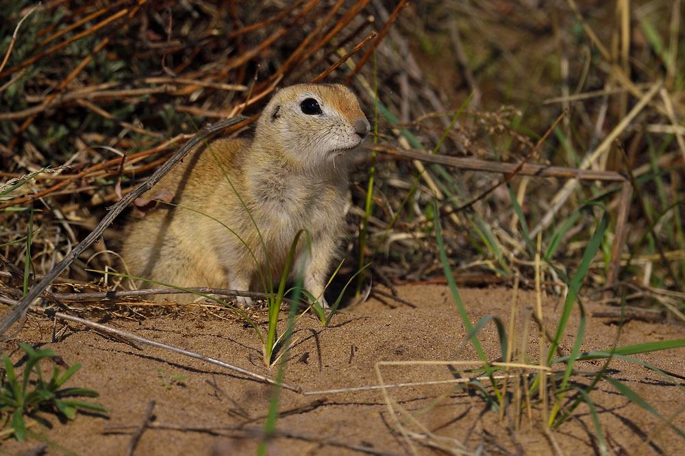 Pallid Ground Squirrel, Spermophilus pallidicauda, Bai Yin Adao National Nature Reserve, Inner Mongolia, China