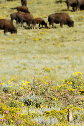 Gunnison''s prairie dog in field of wildflowers with herd of bison nearby, Vermejo Park Ranch, New Mexico, USA.
