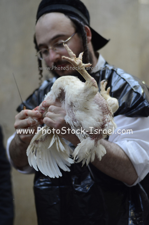 Kosher Chicken slaughter by a Shohet of the ultra religious Neturei Kata sect, Jerusalem, Israel. The Shohet cuts the chickens throat