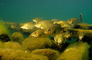 School of Rock Bass<br /> <br /> ENGBRETSON UNDERWATER PHOTO