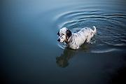 """English Setter Welpe """"Rudy"""" am 01.08. 2017 im Teich von Stara Lysa, (Tschechische Republik).  Rudy wurde Anfang Januar 2017 geboren und ist vor einiger Zeit zu seiner neuen Familie umgezogen."""