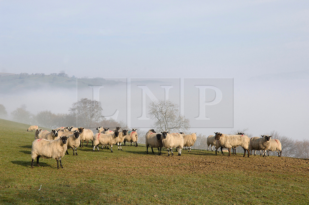 © Licensed to London News Pictures. 13/03/2014. Mynydd Epynt, Powys, Wales,UK. Sheep on high land above the mist. Photo credit : Graham M. Lawrence/LNP