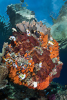 Above a coral encrusted boulder, a small island stretches from the seafloor<br /> <br /> Shot in Raja Ampat Marine Protected Area West Papua Province, Indonesia