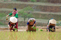 Vietnam. Haut Tonkin. Region de Bac Ha. Travail dans les rizières. Ethnie Hmong fleur. // Vietnam. North Vietnam. Bac Ha area. Work on the rice field. Flower Hmong ethnic group.