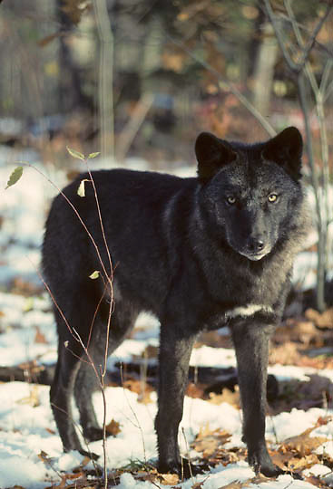 Gray Wolf, (Canis lupus) Lone dark wolf standing in timber. Late Fall.   Captive Animal.