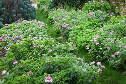 Pelargoniums 'Attar of Roses', P.Pink Capitatum' (Pink capricorn) and P. 'Quercifolium' (Oak leaved geranium) lining the path on the vegetable bank
