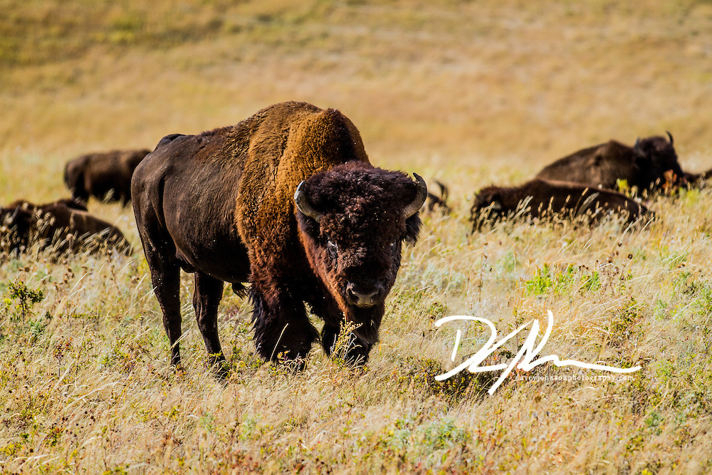 A large bull bison searches for rival bulls to defeat during the rut