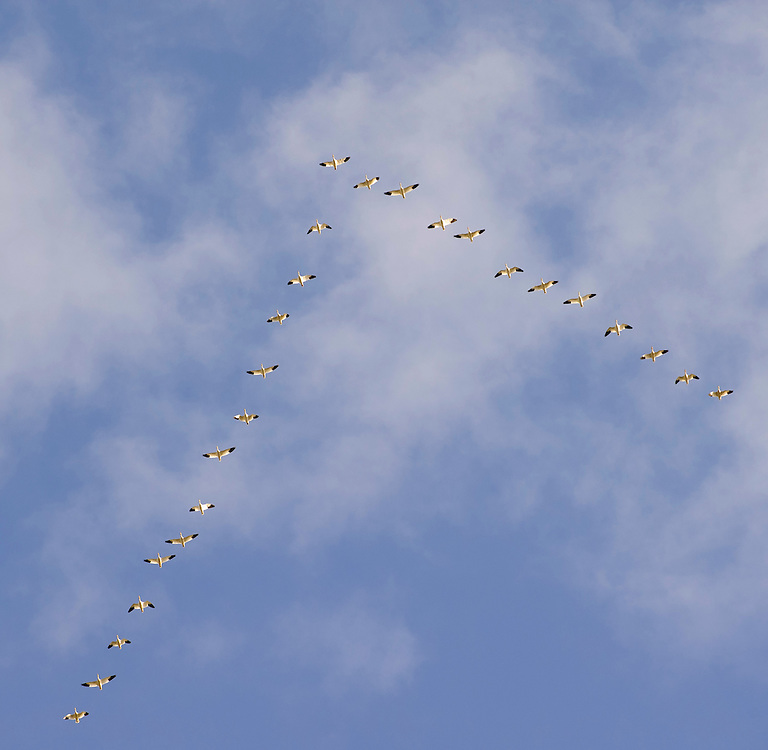 Snow Geese overhead, flying in the V-formation as they return to their arctic nesting grounds, Fairfield, Montana