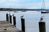 Essex Village, Connecticut, USA, jetty, seabirds, yachts, Connecticut River, 201110185296..<br /> <br /> Copyright Image from Victor Patterson, 54 Dorchester Park, Belfast, UK, BT9 6RJ<br /> <br /> t1: +44 28 9066 1296 (from Rep of Ireland 048 9066 1296)<br /> t2: +44 28 9002 2446 (from Rep of Ireland 048 9002 2446)<br /> m: +44 7802 353836<br /> <br /> victorpatterson@me.com<br /> www.victorpatterson.com<br /> <br /> Please see my Terms and Conditions of Use at victorpatterson.com . It is IMPORTANT that you familiarise yourself with them.<br /> <br /> Images used on the Internet incur an additional cost and must be visibly watermarked i.e. ©Victor Patterson within the body of the image and copyright metadata must not be deleted. Images used on the Internet have a size restriction of 4kbs and are chargeable at rates available at victorpatterson.com.<br /> <br /> This image is only available for the use of the download recipient i.e. television station, newspaper, magazine, book publisher, etc, and must not be passed on to any third party. It is also downloaded on condition that each and every usage is notified within 7 days to victorpatterson@me.com<br /> <br /> The right of Victor Patterson to be identified as the author is asserted in accordance with The Copyright Designs And Patents Act (1988). All moral rights are asserted.