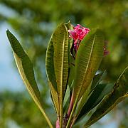 Temple Tree Blossom, Barclay Memorial Park, Tainan City, Taiwan