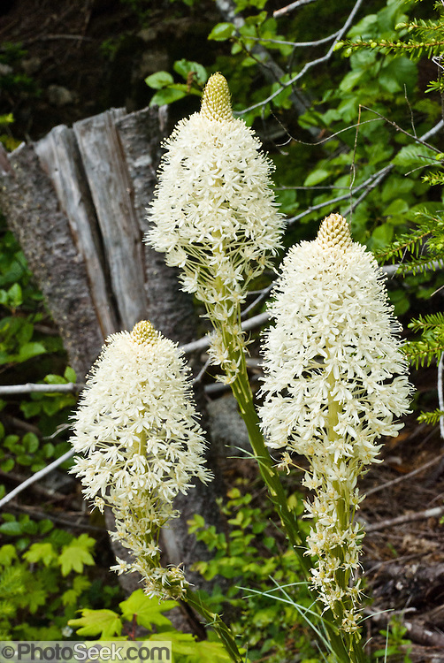 Bear Grass / Xerophyllum tenax (Indian Basket Grass, Soap Grass, or Squaw Grass; in the corn lily family, Melanthiaceae). The flowers of bear grass grow on a stalk that can be 6 feet tall with many small creamy white flowers. Bear grass tends to flower in 5 to 7 year cycles. After the fruit sets, the plant dies. It reproduces by seed, and by sending out offshoots from its rhizomes. Bear grass is found in open forests and meadows at sub alpine and low alpine elevations in the western United States. Native Americans in Oregon, Washington state, and British Columbia have traditionally made beautiful baskets with the stems and roots of beargrass. Photo is from Ira Spring Trail, I90, Washington, USA.