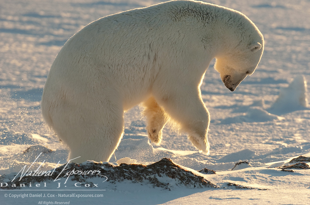 A polar bear pounding the ground with its forepaws. Hudson Bay, Churchill, Manitoba, Canada