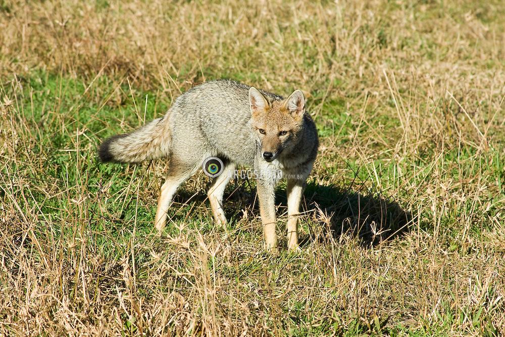 """Raposa-do-campo, raposinha-do-campo, cachorro-de-dentes-pequenos ou jaguapitanga(Pseudalopex vetulus),canideo nativo do Brasil, que habita os campos e cerrados, tambem classificada  de Lycalopex vetulus. Um dos menores cachorros selvagens brasileiros, com uma massa de cerca de 4 kg. A cor de sua pele e cinzento-escura, com a barriga amarelada e a ponta da cauda negra. Tem o costume de atacar galinheiros e rondar casas e acampamentos em busca de comida/ The Hoary Fox (Lycalopex vetulus), also called the Hoary zorro, is a species of zorro or """"false"""" fox endemic to Brazil. Parque Nacional de Aparados da Serra, Rio Grande do Sul . Ano 2009. Foto Roger Engelmann/Argosfoto"""