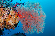 Sea Fan (Gorgonia)<br /> Raja Ampat<br /> West Papua<br /> Indonesia