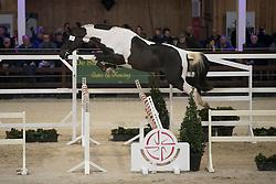 032 - Opi Jopie M <br /> VRIJSPRINGEN<br /> Hengsten keuring BWP - Koningshooikt 2017<br /> © Dirk Caremans<br /> 27/12/2016