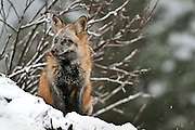 Red Fox (captive), Alaska