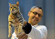 © Licensed to London News Pictures. 24/11/2012. Birmingham, UK A judge looks at a Snow Scottish Bengal cat. Cats are shown by their owners and breeders at The Supreme Cat Show held by the Governing Council of Cat Fancy at the National Exhibition Centre in Birmingham today, 24 November 2012. The Cat Show is one of the largest cat contests in Europe with over one thousand cats being exhibited and judged. Photo credit : Stephen Simpson/LNP