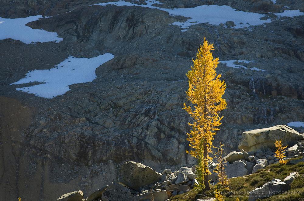 Subalpine Larch (Larix lyallii) North Cascades Washington