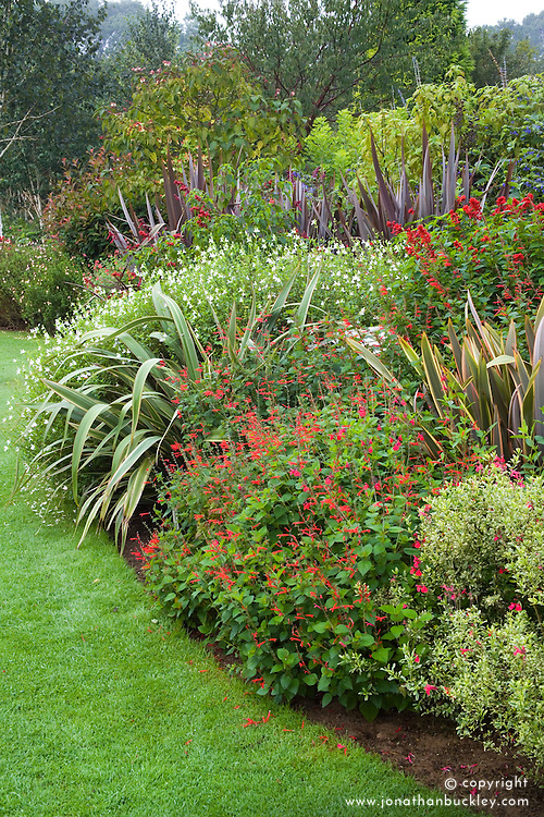 An autumn border of salvias and phormiums at Ashwood Nurseries including Salvia elegans, Pineapple sage, Salvia microphylla 'Hot Lips' and Salvia splendens 'Van Houttei'  with Phormium cookianum subsp. hookeri 'Tricolor'