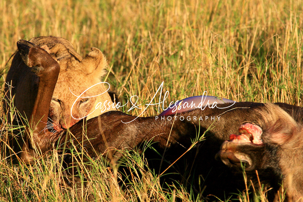 The superpride of lions take a wildebeest down just before the sunset, now the young lion cub takes its part in the feast after the older members have already eaten. The sunset spotlight increases the dramatic look of the little cub towards the defeated prey.