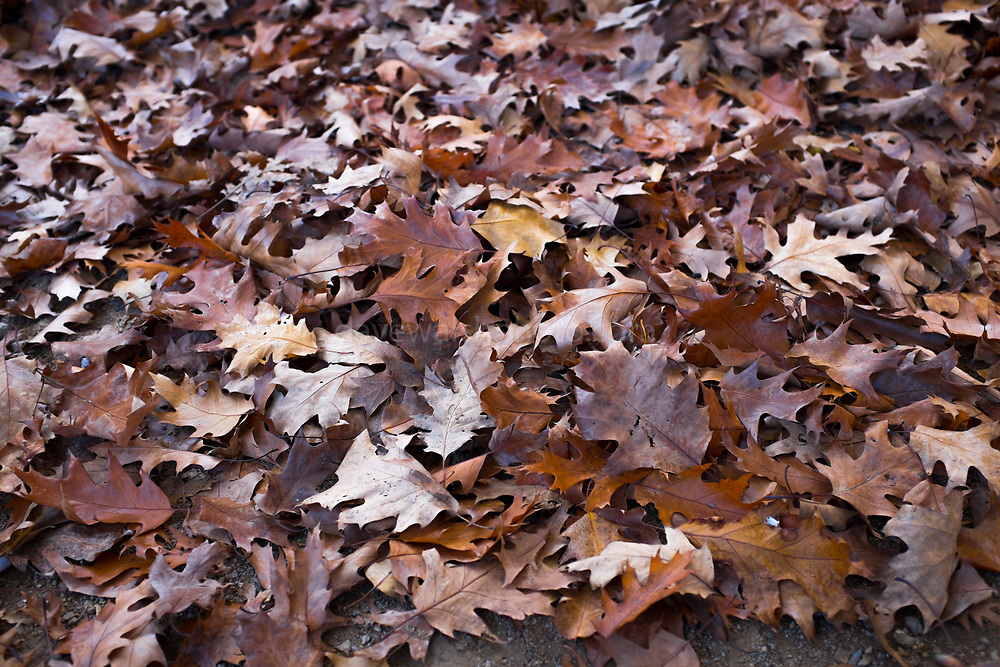 "A pile of Autumn oak leaves, Catalonia This mage can be licensed via Millennium Images. Contact me for more details, or email mail@milim.com For prints, contact me, or click ""add to cart"" to some standard print options."