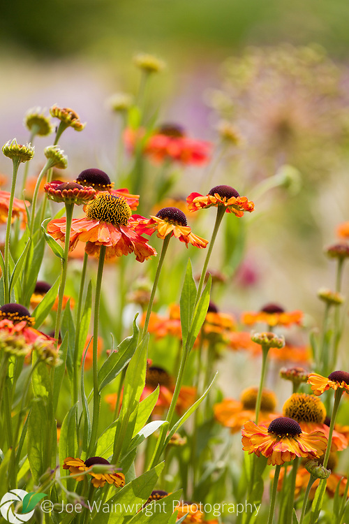 Brightly coloured heleniums photographed with an allium seed head in the background