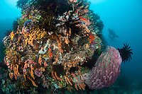 Divers explore the top of a healthy reef wall..Shot in Indonesia