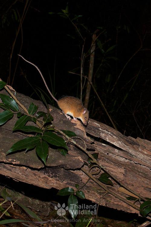 An unknown Muridae sp rodent form Kaeng Krachan National Park.