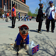 A dog dressed in a Mets uniform outside the stadium at Citi Field before the New York Mets V San Francisco Giants Baseball game at Citi Field, Queens, New York. 21st April 2012. Photo Tim Clayton