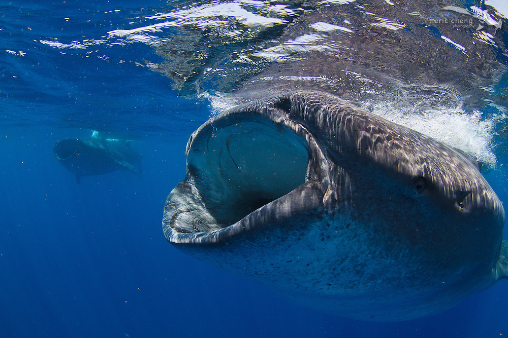 Two whale sharks (Rhincodon typus) swim with their mouths open to feed during a feeding aggregation off of Isla Mujeres, Mexico