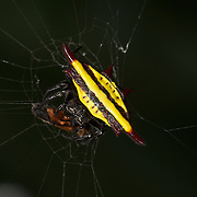 Gasteracantha doriae, Spiny orb-weaver spider feeding on web caught prey.