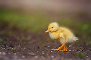 Baby duck strutting his stuff