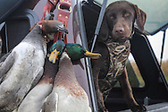 Young Labrador Retriever, Griz, with ducks on a strap during a Manitoba waterfowl hunt