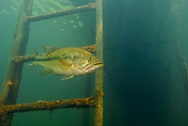 Largemouth Bass<br />