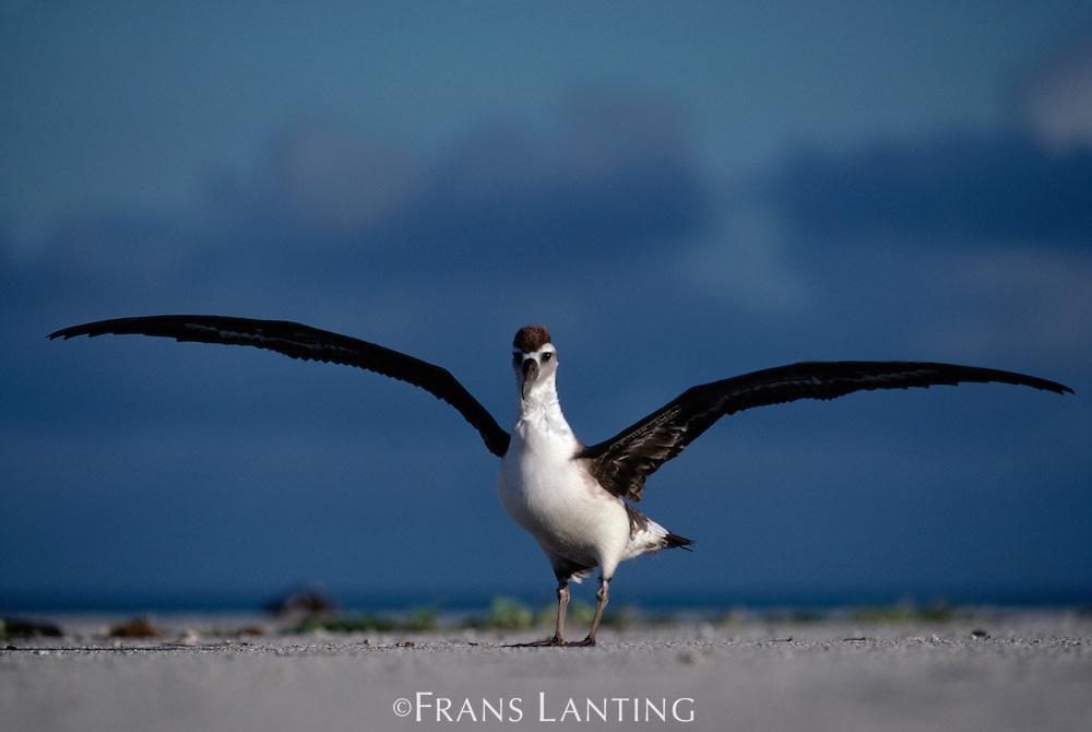 Laysan albatross fledgling, Phoebastria immutabilis, Hawaiian Leeward Islands