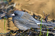 Dark-eyed junco in spring. Yaak Valley in the Purcell Mountains, northwest Montana.