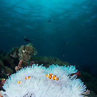 Family of False Clown Anemonefish, Amphiprion ocellaris, in bleached anemone, Komodo Island, Indonesia.