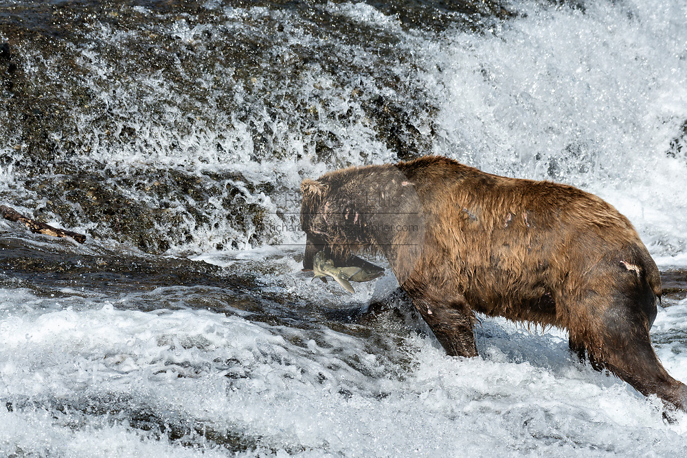 A large adult grizzly bear catches chum salmon in the upper McNeil River falls at the McNeil River State Game Sanctuary on the Kenai Peninsula, Alaska. The remote site is accessed only with a special permit and is the world's largest seasonal population of brown bears.