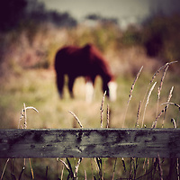 A wooden fence with tall grasses growing through it with an out of focus horse grazing in the background.