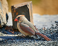 Female Northern Cardinal. Image taken with a Nikon D4 camera and 600 mm f/4 VR lens (ISO 250, 600 mm, f/4, 1/200 sec)