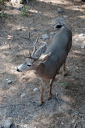 Shasta region of Northern California: Deer near Mount Shasta..Photo copyright Lee Foster.  Photo # california-deer-cashas105193
