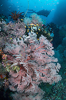Sea Fans and Diver <br /> <br /> Shot in Indonesia