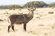 Male waterbuck (Kobus ellipsiprymnus) photographed in Tanzania