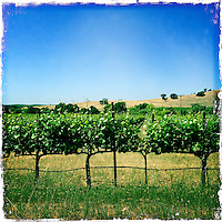 2013 May 13:  Early summer grape vines growing along the Sonoma Highway in wine country. iphone Hipsta