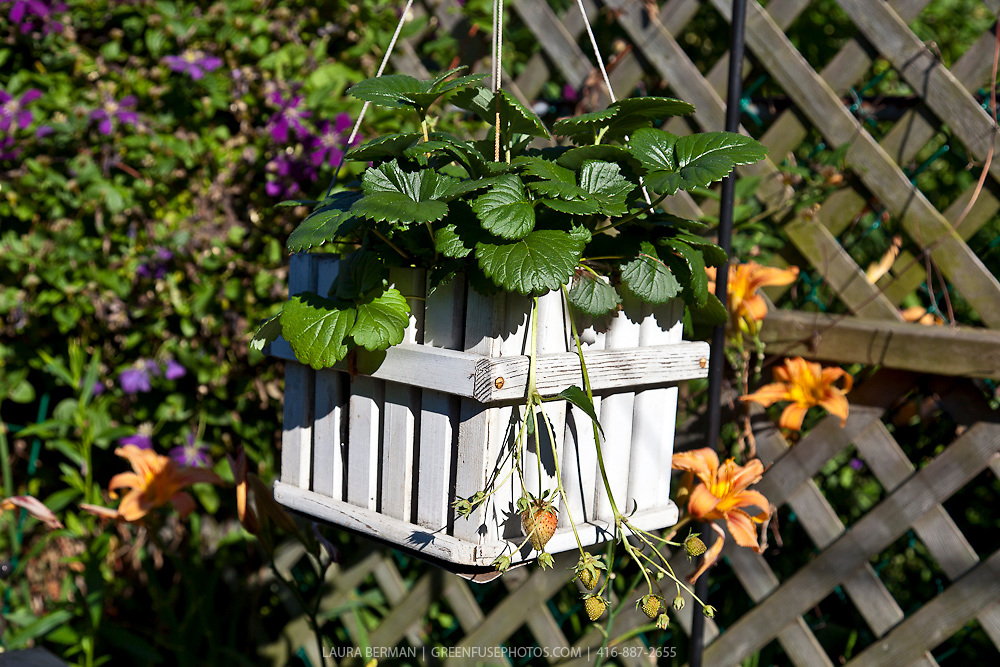 Strawberry plant in a hanging container