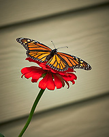 Monarch Butterfly. Image taken with a Fuji X-H1 camera and 80 mm f/2.8 macro lens (ISO 200, 80 mm, f/4, 1/1000 sec).